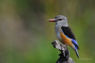 Grey-geaded Kingfisher