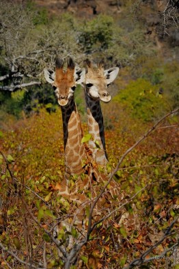 These two young giraffe blended in with the Mopani tree colouring that it was only when they put their heads up did we see them while driving in Mashatu Game Reserve.