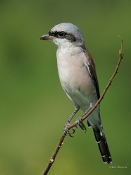 Red-backed shrike taken in Pilansberg National Park.