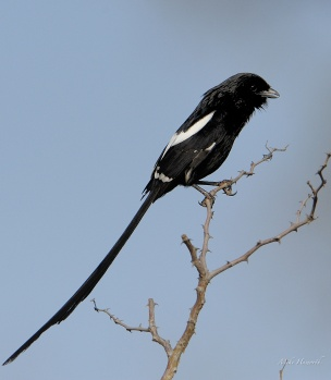 Long-tailed or Magpie shrike. Found in thornveld. This shot was taken in Kruger Park.