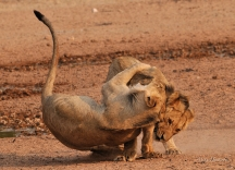 Rough and tumble between two young male lions in the Kalagadigadi