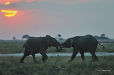 Two young Elephant mock-fighting in the last light on one of the islands in the Chobe River.