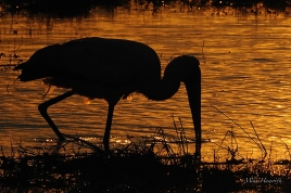 A Yellow-billed Stork foraging along the water's edge in the last light across the Chobe River.