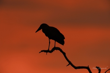 A Hammerkop silhouetted late one evening next to the Chobe River.