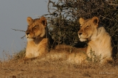Two Mashutu Lionesses interested in the Horse safari passing by