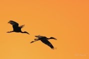 Openbill Storks silhouetted in a burnt orange sky as they fly back to their roosting trees.