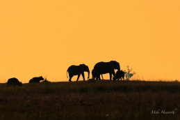 Silhouetted Elephant and Buffalo in the last light over Puku Flats along the Chobe River