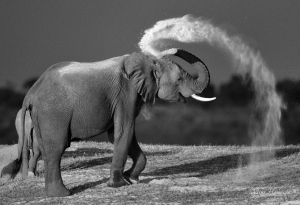 Having cooled down in the Chobe River, this Elephant proceeded to dust himself down. The late afternoon light caught the dust coming out of the trunk and the black and white filter emphasised this.