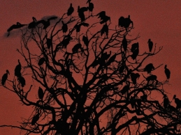 Openbill Storks roosting in a Jackalberry tree alongside the Chobe River