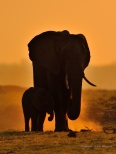 Dusty walk at sunset - silhouetting a female Elephant and her calf next to the Chobe River.
