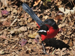 Crimson-breasted shrikes love to forage for insects on the ground - success.