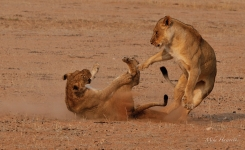 Young Lions playing near Thirteenth waterhole in Kalagadigadi
