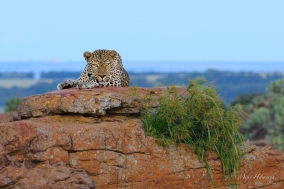 Large male Leopard staring at us from his vantage point on top of a flat rock in Eagle' Rock Estate