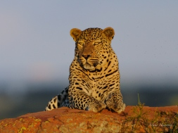 Leopard 044