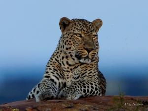 Leopard 078