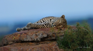 Leopard 083