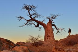 Rhodes Baobab in Mashatu