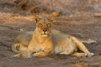We caught this lioness's attention. The two females were lying in the cool shade after having fed on an Eland
