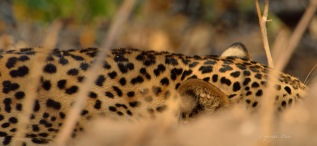 Youg male Leopard lying quietly in he dappled shade, secluded in a grove of Crotons