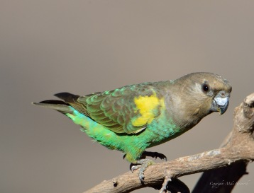 Female Meyers Parrot