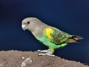 Female Meyers Parrot with a background in deep shadow