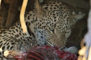 Young male Leopard feeding on an Impala kill in side the hollow of the roots system of a large Mashatu tree