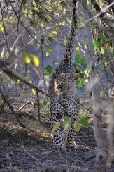 Mlae Leopard marking his territory