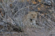 Large male Leopard lying in wait