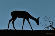 A young Impala foraging on a river bank above us at sunset.