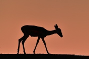 Female Impala silhouetted against beautiful light from a dusty sunset
