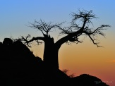 Silhouette of Rhodes Baobab in Mashatu - we could not leave any later as we still had to get down the hill in the dark with Hyaena whooping all around us.