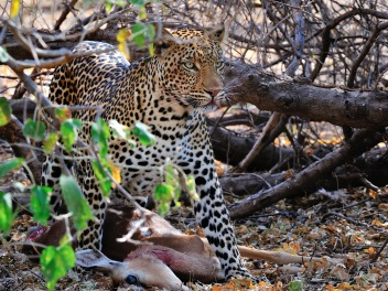 This young male Leopard was busy plucking the hair of this Impala he had just killed