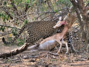 Young male Leopard caught this Impala