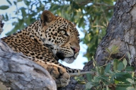 This male Leopard was high up getting some peace late one afternoon in Mashatu.He was dosing but every now and then a noise would catch his attention.