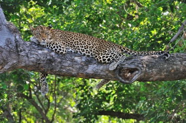 This female Leopard was taking a break from her three youngsters. She looked so relaxed and was not perturbed by us at all.