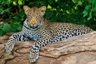 Early one summer morning, this young female Leopard was chilling out on a dead branch in Mashatu.