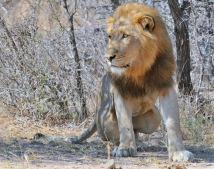 Male Lion in Kruger Park who had clearly been dominating the kills as the Lioness he was with looked very scrawny
