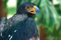 A close-up of a Black Eagle at Eagle Encounters