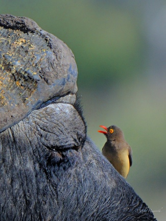 Close up of a Red-billed Oxpecker doing its clean job on this Buffalo.