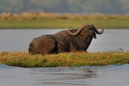 This Buffalo was keeping a wary eye on us from his little paradise island in the Chobe River.