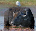 Buffalo feeding on water plants in the Chobe River. A Cattle Egret was feeding on insects on the Buffalo.
