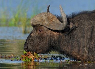 Buffalo waist deep in the Chobe River eating water lily stems.