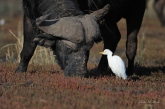 A Buffalo grazing on the pinkish grass shoots on an island in the Chobe River with the ever present Cattle Egret waiting for insects to be disturbed by the feeding Buffalo.