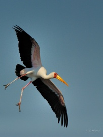 Yellow-billed stork coming in to land along the Chobe River.