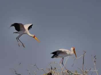 Yellow-billed Stork landing at a roosting area just above the rapids in the Chobe River above where it meets the Zambesi River.