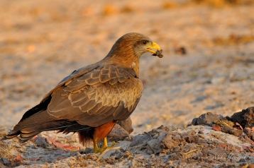 Yellow-billed kite picking up an offering for a female close by on the bank of the Chobe river.