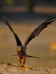 Yellow-billed kite taking off from a sand bank along the Chobe River. They scavenge but are also good fish catchers.