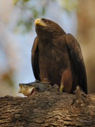 Yellow-billed kite with its catch in a tree above the Chobe river.