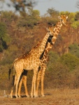 A male and female Giraffe in warm light early one morning in Mashatu.