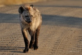 This young Hyaena followed our car early one morning in the Kruger Park. It appeared to be lost and was making its deep whooping sounds obviously trying to communicate. It was also quite wet from walking through the dew drenched grass early in the morning.